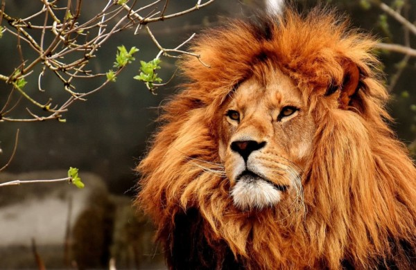 フリー lion-3372720_1280 (1)